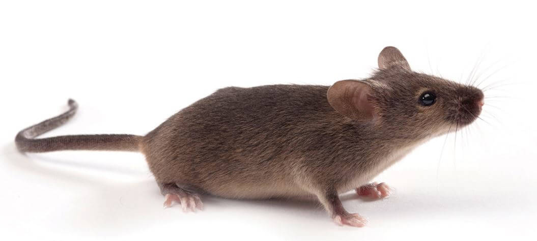 lab mouse pictures - 1200×540