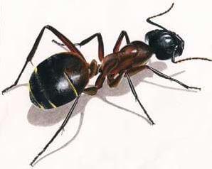 une invasion de fourmis traitement anti fourmis pour les tuer et les radiquer. Black Bedroom Furniture Sets. Home Design Ideas